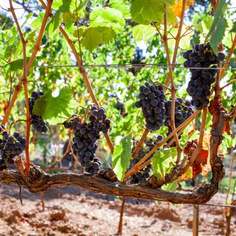 Vigne e uva