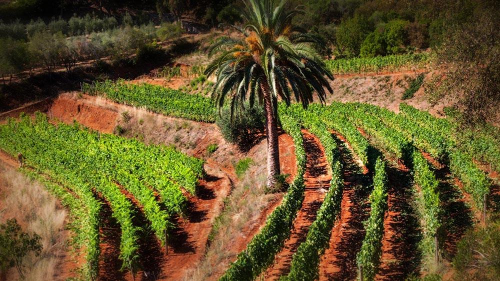 Isola feconda di vino